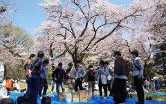 在日本,穿和服赏樱花的十有八九是中
